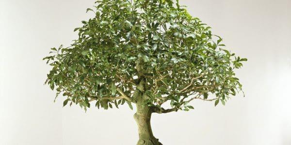 "- Giovanni Kronenberg La leggerezza dellarrossire Bonsai 2002 600x300 - Arte del bonsai: ""la leggerezza dell'arrossire"""