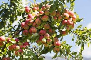 mela mela - tien shan 300x200 - L'origine della mela: viaggio in Kazakistan, tra le foreste del Tien Shan