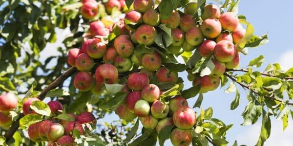 mela - tien shan 600x300 - L'origine della mela: viaggio in Kazakistan, tra le foreste del Tien Shan